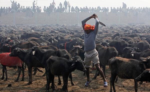 Nepal buffalo