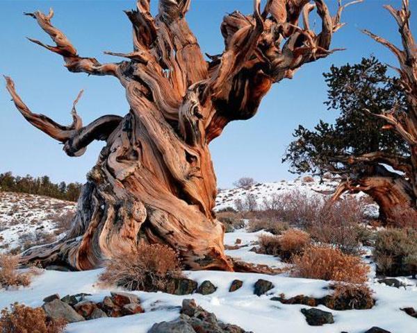 methuselah-bristlecone-pine-tree